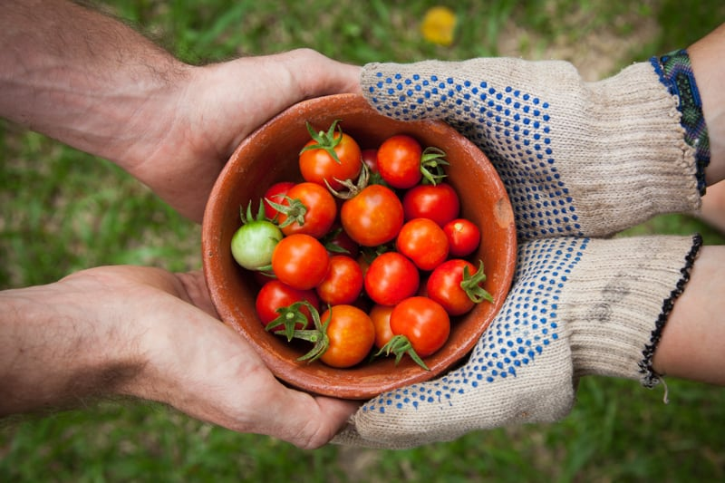 Two sets of hands hold a bowl of cherry tomatoes between them. One pair wears gardening gloves, the other are bare.