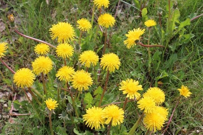Dandelions growing in a grassy spot.