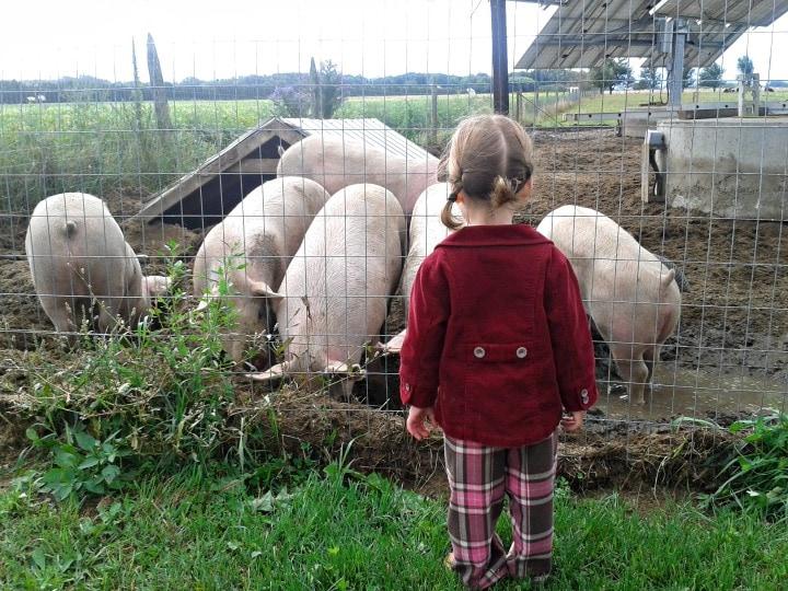 watching pigs