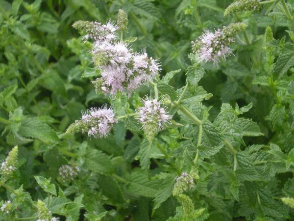 floweringpeppermint