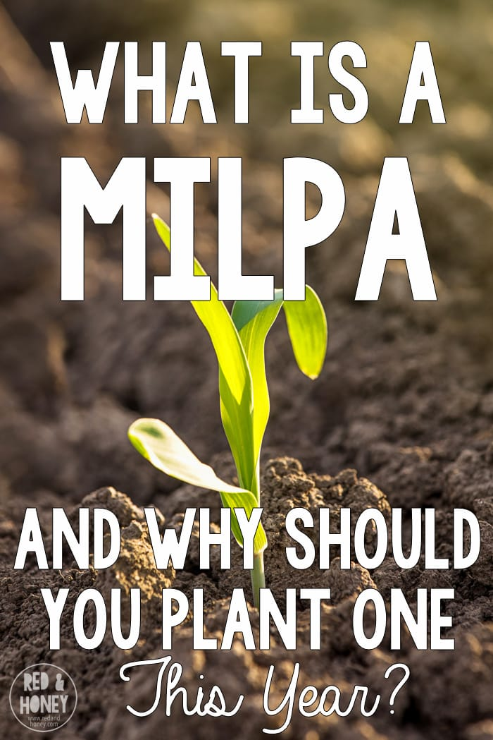 ... But the best part is that you can plant a milpa in the same plot over and over again because of the way each plant uniquely builds the soil.  There are fields in Mesoamerica that have been planted with a milpa continuously for 4000 years and continue to be fruitful. // So cool!