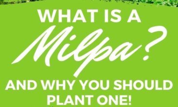 """Pinterest pin with two images. The first image is of a tiny plant. The second image is of a healthy milpa crop. Text overlay says, """"What is Milpa? - should you plant one?"""""""