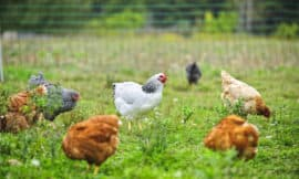 cage-free eggs better? maybe not!