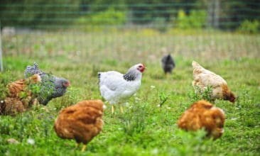 Think Cage-Free Eggs are Better? Think Again.