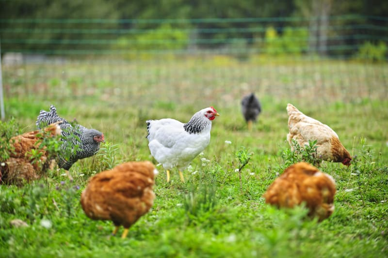 Are cage-free eggs all that great? Maybe not!