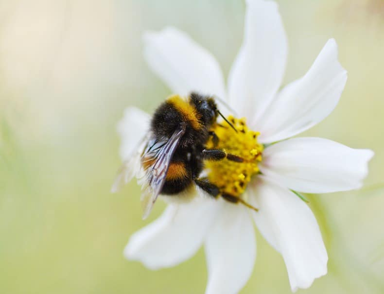 close up of a bee on a while flower with blurred background